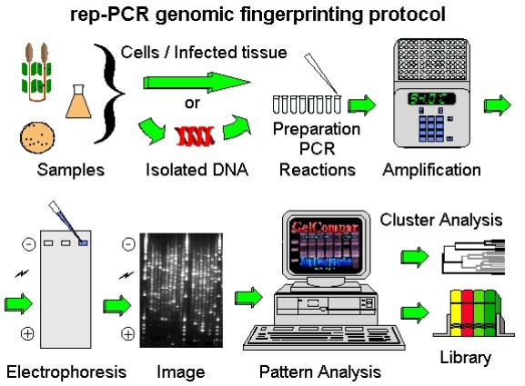 biology dna fingerprinting and polymerase chain reaction Sometimes called molecular photocopying, the polymerase chain reaction molecular biology, pcr revolutionized the study of dna to dna fingerprinting.